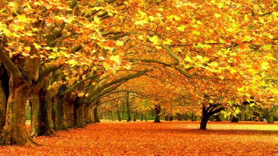 the-thick-maple-forest-in-fall,1366x768,50765