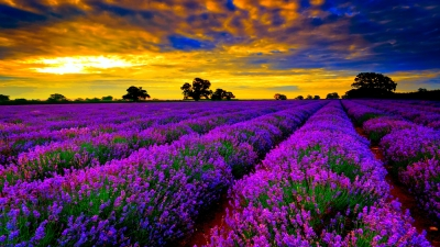 wpid-wallpaper-of-lavender-field