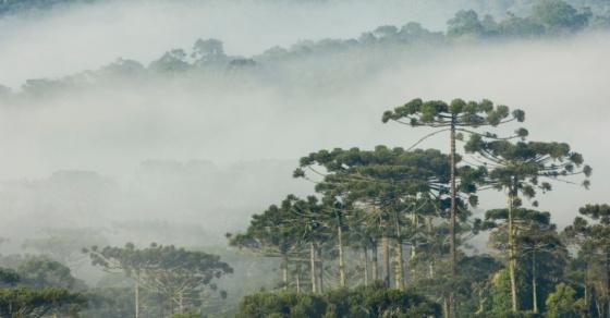 28mai2014---floresta-com-araucarias-pr-na-mata-atlantica-1401309834334_956x500