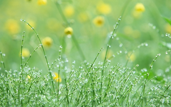 Grass-covered-with-dew-wallpaper_6786