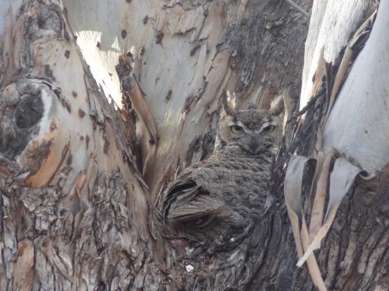 West2013-0150-04-27-AZ-Mira+Vista-Owl