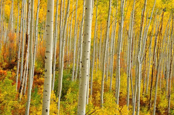 aspens-in-the-colorado-rockies-john-hoffman