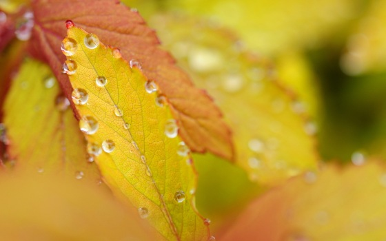 autumn-yellow-leaves-on-drops