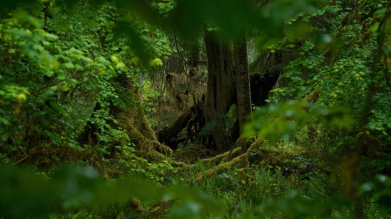 Hoh-Rainforest-1