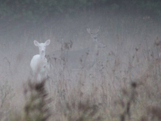 1387819333003-122313albino-deer2