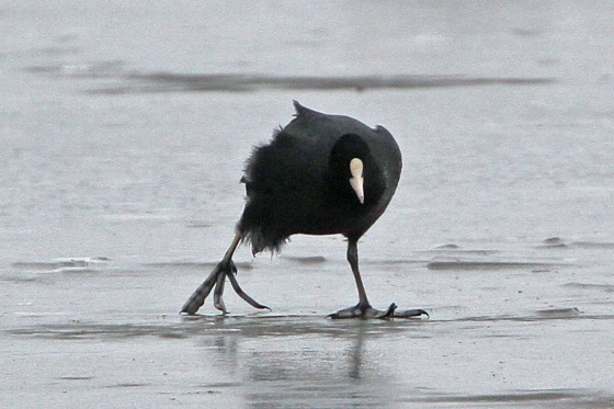 coot ice skating