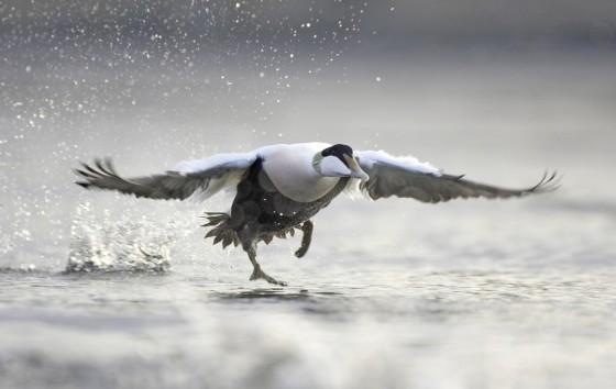 duck_flying