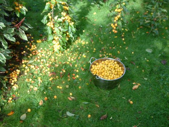 fruit falling