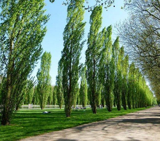 populus_nigra_plantierensis_fastigiate_black_poplar_trees_lg